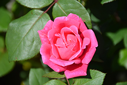 Pink Double Knock Out® Rose (Rosa 'Radtkopink') at Echter's Nursery & Garden Center