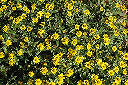 Cuzco Yellow Creeping Zinnia (Sanvitalia procumbens 'Cuzco Yellow') at Echter's Nursery & Garden Center