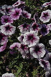Purple Vein Ray Petunia (Petunia 'Purple Vein Ray') at Echter's Nursery & Garden Center