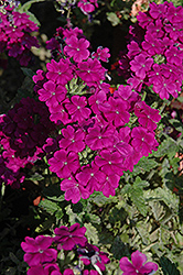 Empress™ Purple Verbena (Verbena 'Empress Purple') at Echter's Nursery & Garden Center