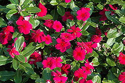 Titan™ Burgundy Vinca (Catharanthus roseus 'Titan Burgundy') at Echter's Nursery & Garden Center