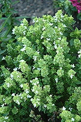 Boxwood Basil (Ocimum basilicum 'Boxwood') at Echter's Nursery & Garden Center