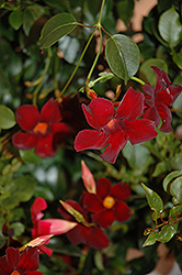 Sun Parasol® Pretty Deep Red Mandevilla (Mandevilla 'Sun Parasol Pretty Deep Red') at Echter's Nursery & Garden Center