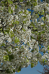 Jack Ornamental Pear (Pyrus calleryana 'Jaczam') at Echter's Nursery & Garden Center