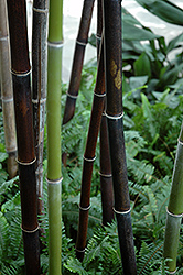 Black Bamboo (Phyllostachys nigra) at Echter's Nursery & Garden Center