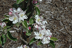 Zestar Apple (Malus 'Zestar') at Echter's Nursery & Garden Center