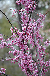 Forest Pansy Redbud (Cercis canadensis 'Forest Pansy') at Echter's Nursery & Garden Center