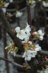 Stella Cherry (Prunus avium 'Stella') at Echter's Nursery & Garden Center
