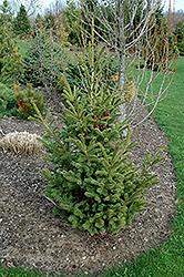 Mac's Golden White Spruce (Picea glauca 'Mac's Golden') at Echter's Nursery & Garden Center