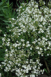 Festival Star Baby's Breath (Gypsophila paniculata 'Festival Star') at Echter's Nursery & Garden Center