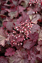Berry Smoothie Coral Bells (Heuchera 'Berry Smoothie') at Echter's Nursery & Garden Center