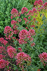 Red Valerian (Centranthus ruber 'Coccineus') at Echter's Nursery & Garden Center