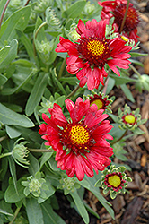 Burgundy Blanket Flower (Gaillardia x grandiflora 'Burgundy') at Echter's Nursery & Garden Center