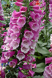 Dalmatian Purple Foxglove (Digitalis purpurea 'Dalmatian Purple') at Echter's Nursery & Garden Center