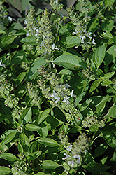 Mrs. Burns Famous Lemon Basil (Ocimum basilicum 'Mrs. Burns Famous Lemon') at Echter's Nursery & Garden Center