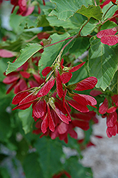 Hot Wings Tatarian Maple Acer Tataricum Garann In