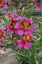 Royale Purple Bicolor Stained Glass Flower (Salpiglossis sinuata 'Royale Purple Bicolor') at Echter's Nursery & Garden Center