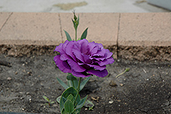 Cinderella Blue Lisianthus (Eustoma grandiflorum 'Cinderella Blue') at Echter's Nursery & Garden Center