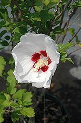 Red Heart Rose Of Sharon (Hibiscus syriacus 'Red Heart') at Echter's Nursery & Garden Center