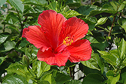 Red Hibiscus (Hibiscus rosa-sinensis 'Red') at Echter's Nursery & Garden Center
