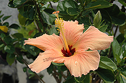Peach Hibiscus (Hibiscus rosa-sinensis 'Peach') at Echter's Nursery & Garden Center