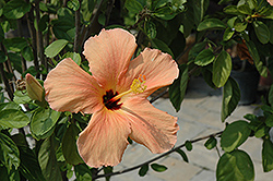 Salmon Hibiscus (Hibiscus rosa-sinensis 'Salmon') at Echter's Nursery & Garden Center