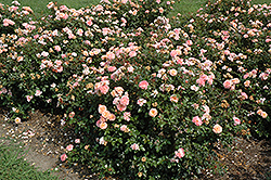Apricot Drift® Rose (Rosa 'Meimirrote') at Echter's Nursery & Garden Center