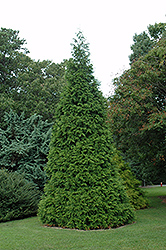 Green Giant Arborvitae (Thuja 'Green Giant') at Echter's Nursery & Garden Center
