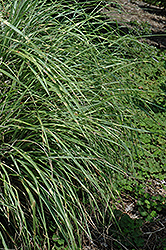Little Zebra Dwarf Maiden Grass (Miscanthus sinensis 'Little Zebra') at Echter's Nursery & Garden Center