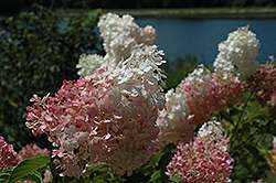 Vanilla Strawberry Hydrangea (Hydrangea paniculata 'Vanilla Fraise') at Echter's Nursery & Garden Center