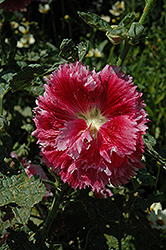 Fiesta Time Hollyhock (Alcea rosea 'Fiesta Time') at Echter's Nursery & Garden Center