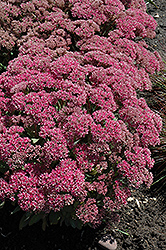 Mr. Goodbud Stonecrop (Sedum 'Mr. Goodbud') at Echter's Nursery & Garden Center