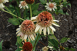 Supreme Cantaloupe Coneflower (Echinacea 'Supreme Cantaloupe') at Echter's Nursery & Garden Center