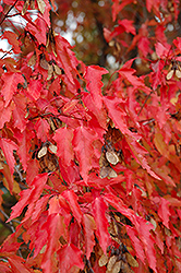 Amur Maple (tree form) (Acer ginnala '(tree form)') at Echter's Nursery & Garden Center