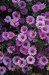 Purple Dome Aster (Aster novae-angliae 'Purple Dome') at Echter's Nursery & Garden Center