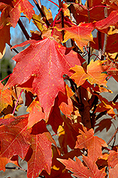 Flashfire Sugar Maple (Acer saccharum 'JFS-Caddo2') at Echter's Nursery & Garden Center