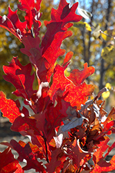 Crimson Spire Oak (Quercus 'Crimson Spire') at Echter's Nursery & Garden Center