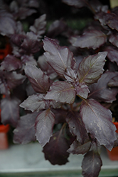 Red Rubin Basil (Ocimum basilicum 'Red Rubin') at Echter's Nursery & Garden Center
