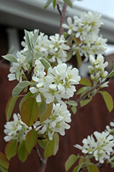Standing Ovation™ Saskatoon Berry (Amelanchier alnifolia 'Obelisk') at Echter's Nursery & Garden Center