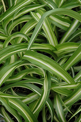 Variegated Spider Plant (Chlorophytum comosum 'Variegatum') at Echter's Nursery & Garden Center