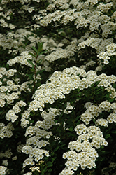 Snowmound Spirea (Spiraea nipponica 'Snowmound') at Echter's Nursery & Garden Center