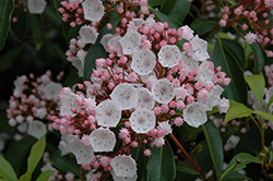 Elf Mountain Laurel (Kalmia latifolia 'Elf') at Echter's Nursery & Garden Center