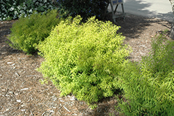 Mellow Yellow Spirea (Spiraea thunbergii 'Mellow Yellow') at Echter's Nursery & Garden Center