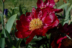 Monsireur Jules Elie Peony (Paeonia 'Monsieur Jules Elie') at Echter's Nursery & Garden Center