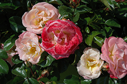 Peach Drift® Rose (Rosa 'Meiggili') at Echter's Nursery & Garden Center