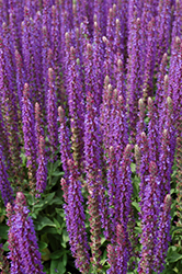 East Friesland Sage (Salvia nemorosa 'East Friesland') at Echter's Nursery & Garden Center