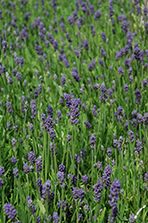 Thumbelina Leigh Lavender (Lavandula angustifolia 'Thumbelina Leigh') at Echter's Nursery & Garden Center