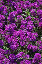 Homestead Purple Verbena (Verbena 'Homestead Purple') at Echter's Nursery & Garden Center