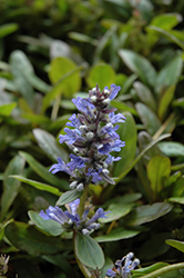 Blueberry Muffin Bugleweed (Ajuga reptans 'Blueberry Muffin') at Echter's Nursery & Garden Center