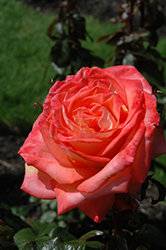 Octoberfest Rose (Rosa 'MAClanter') at Echter's Nursery & Garden Center